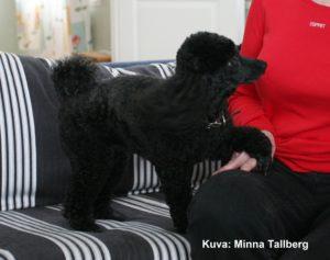 Musta kääpiövillakoira ilmaisee ihmiselle jotakin tassulla kädelle painamalla. koira katsoo ylöspäin kohti ihmistä, jolla on punainen pusero. Molemmat istuvat raidallisella sohvalla. Tekstissä kuva: Kuva: Minna Tallberg