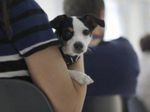 pieni koira istuu sylissä ja katsoo kohti kameraa